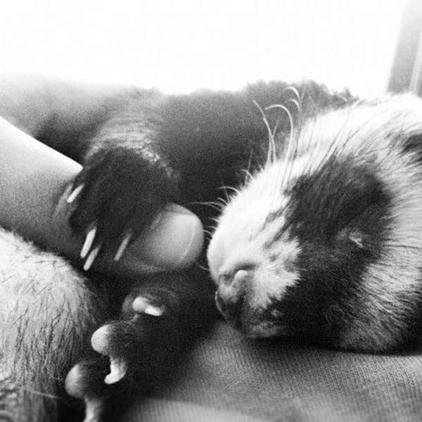 http://thefluffingtonpost.com/post/24018051916/ferret-actor