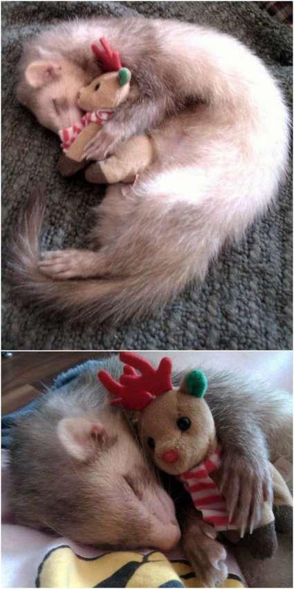 http://www.thatcutesite.com/meet-popcorn-the-sleepy-ferret.html