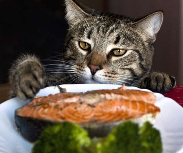 chat-vole-nourriture (17)