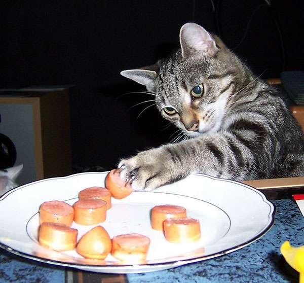 chat-vole-nourriture (21)
