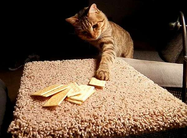 chat-vole-nourriture (4)