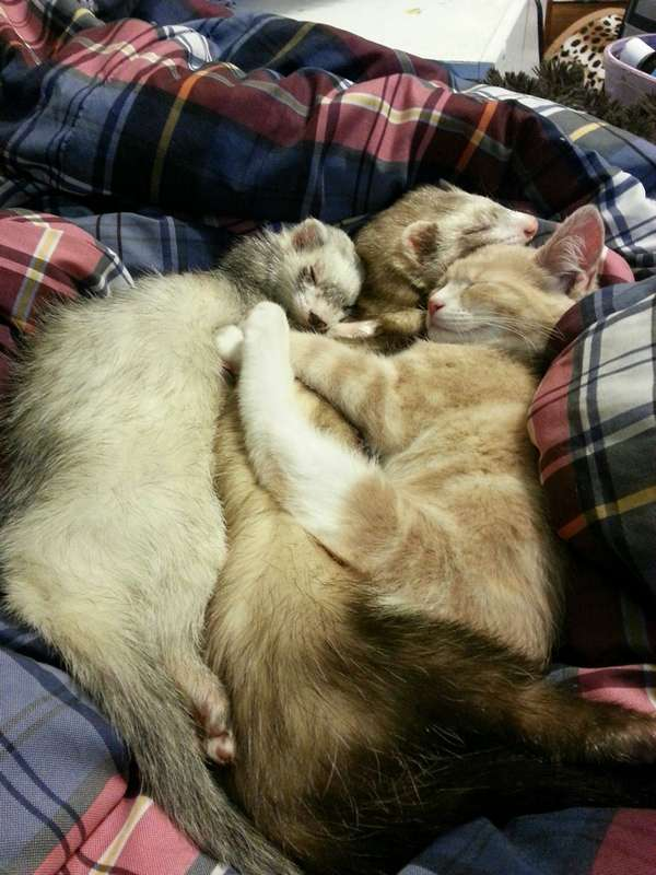 chaton-furets (15)