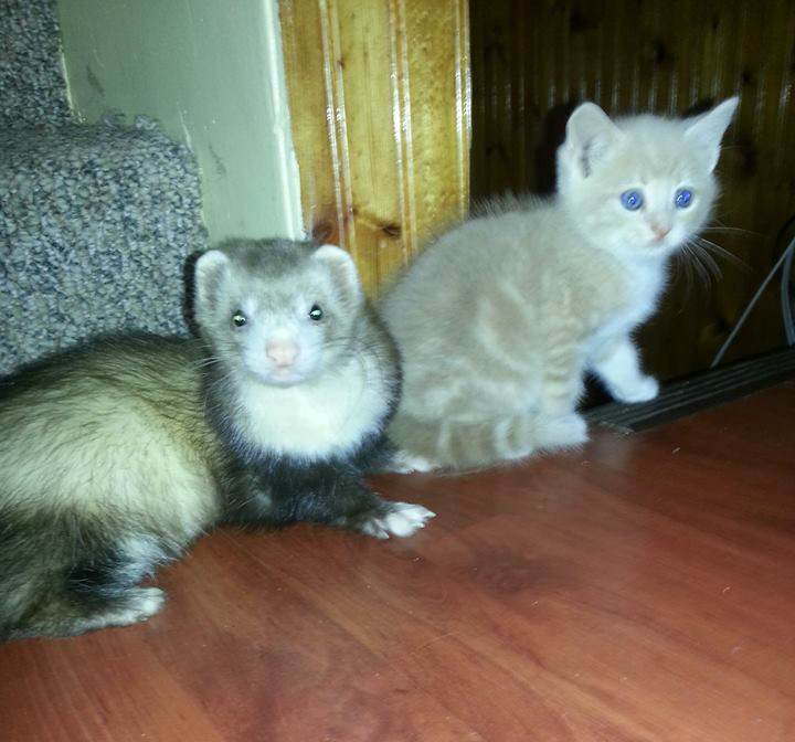 chaton-furets (2)