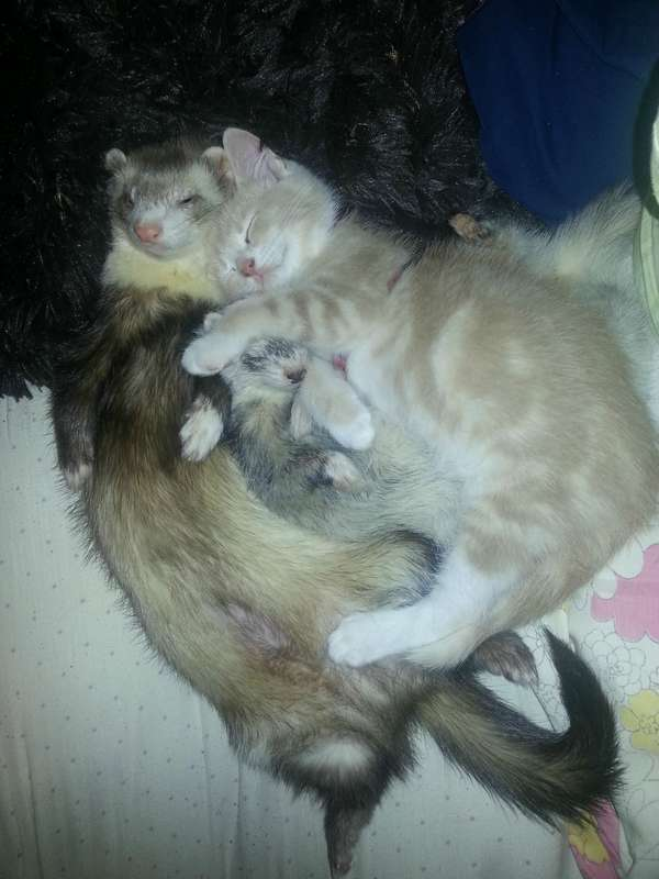 chaton-furets (21)