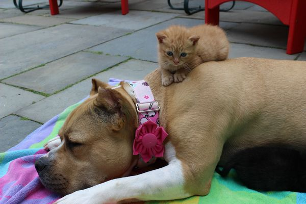 chienne-chatons-orphelins (12)