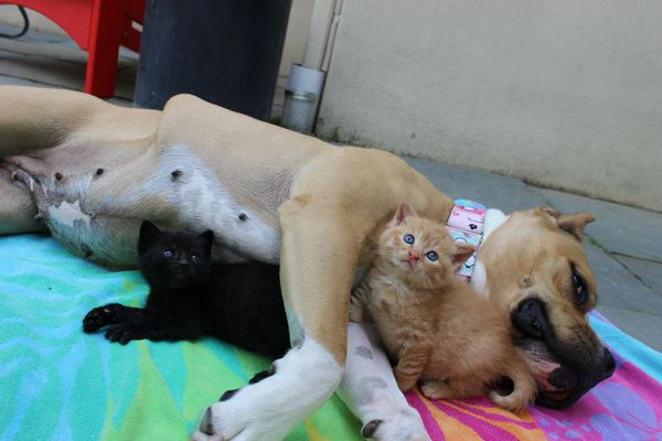 chienne-chatons-orphelins (6)