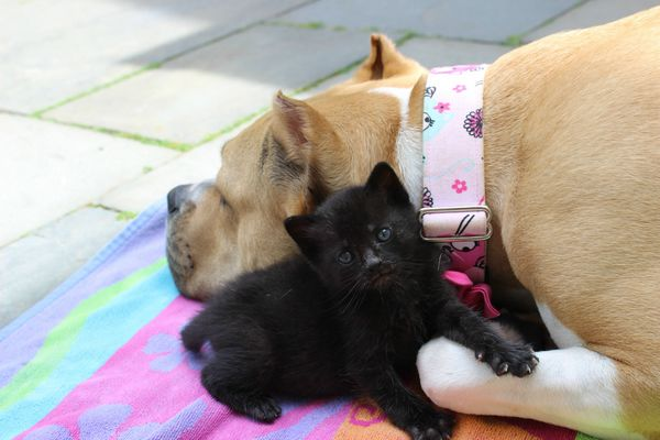 chienne-chatons-orphelins (7)