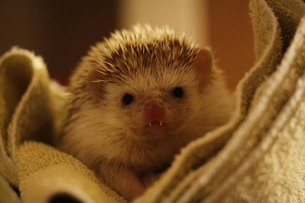 http://www.cutestpaw.com/images/just-a-baby-hedgehog-with-vampire-teeth/