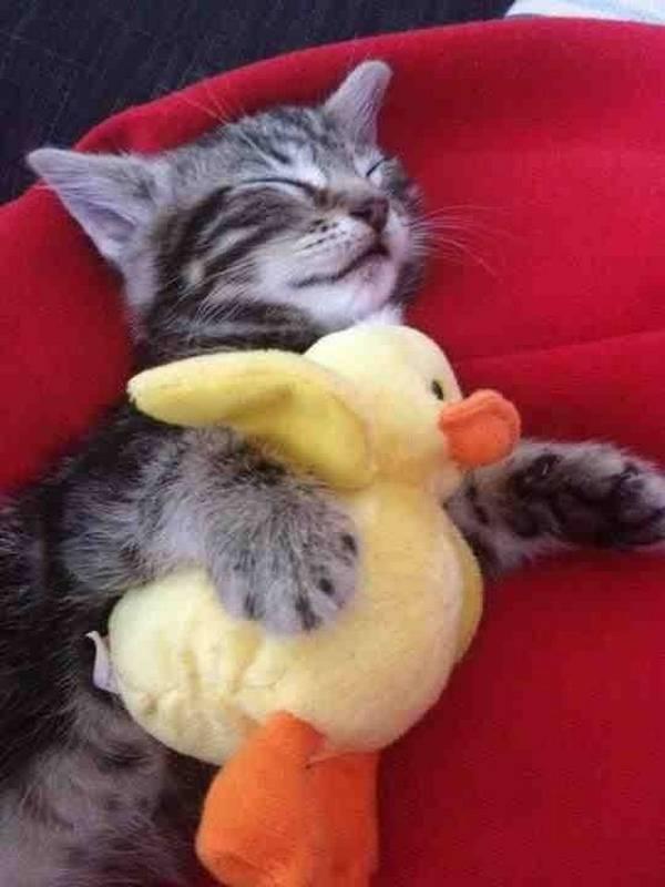 chat-dort-avec-peluche (4)