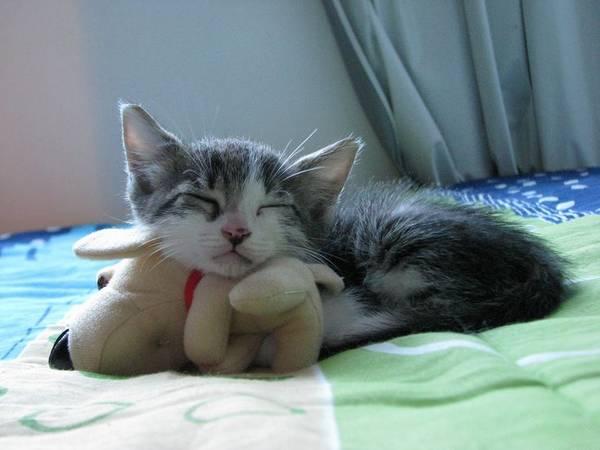 chat-dort-avec-peluche (6)