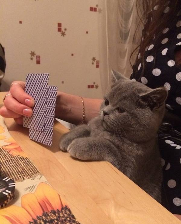 https://www.reddit.com/r/photoshopbattles/comments/2weswa/psbattle_an_unamused_cat_playing_cards_with_its/