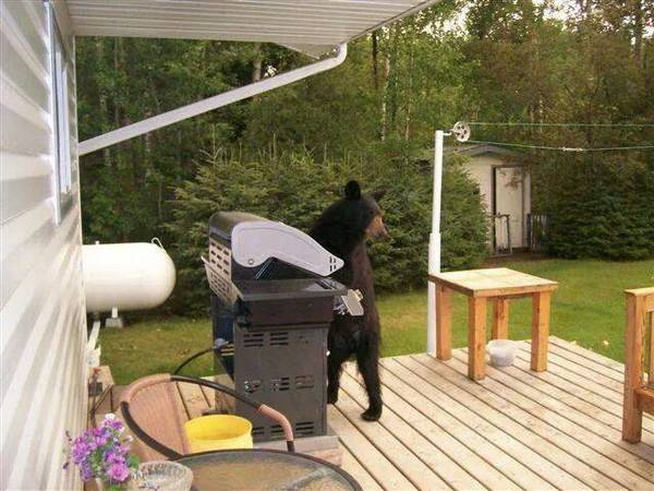 http://www.laughspark.com/funny-bear-grills-a-bear-using-a-grill-machine-6456