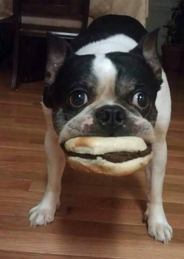 http://buzzsharer.com/wp-content/uploads/2015/07/boston-terrier-dog-thief.jpg