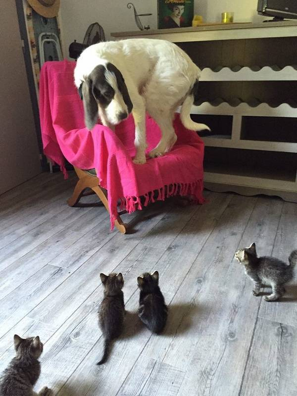 http://www.kisstimmins.com/2015/07/15/big-dog-afraid-of-little-kittens/