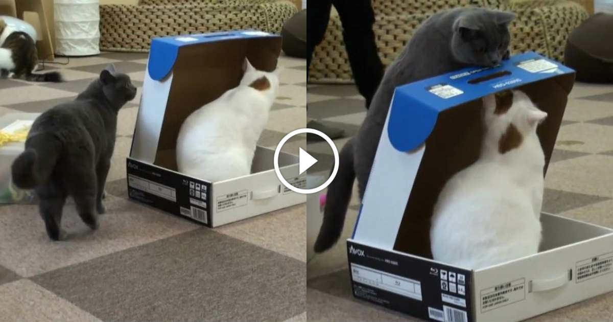 Vous allez rire en voyant la blague que ce chat gris va