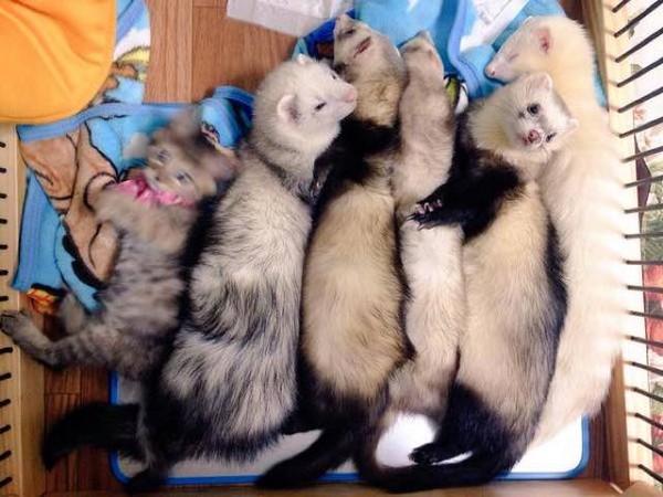Komari-furets-famille