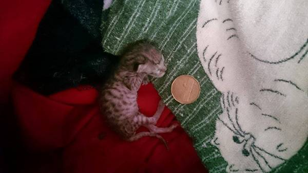 chaton-minuscule-sauve (5)