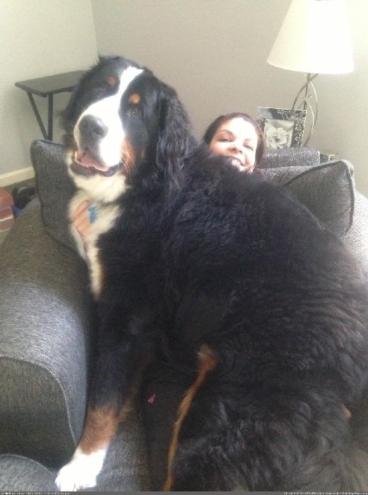 http://p.im9.eu/aww-this-ones-for-the-big-dog-lovers-this-is-lincoln-and-he-s-bigger-than-my-wife.jpg