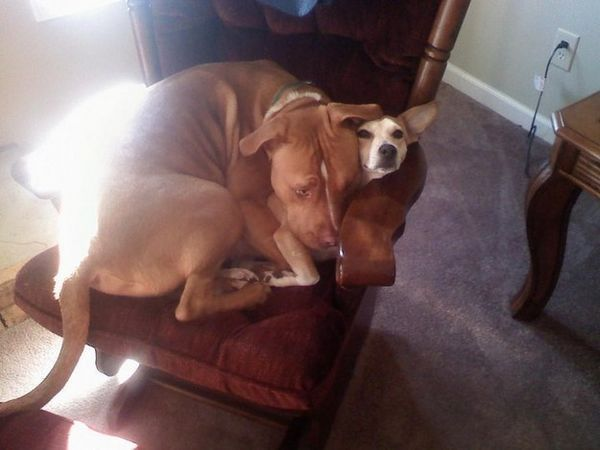 http://cdn1-www.dogtime.com/assets/uploads/gallery/25-big-dogs-who-think-theyre-lap-dogs-gallery/big-lap-dog-21_1.jpg