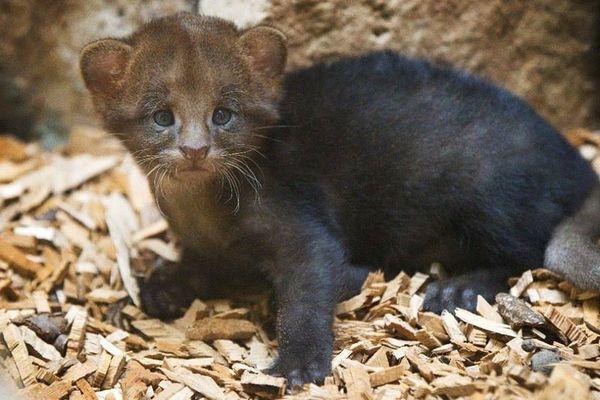 http://www.zooborns.com/zooborns/2013/10/jaguarundi-zoo-praha.html