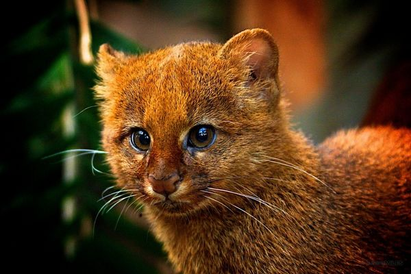 http://www.cutestpaw.com/images/jaguarundi-kitten/