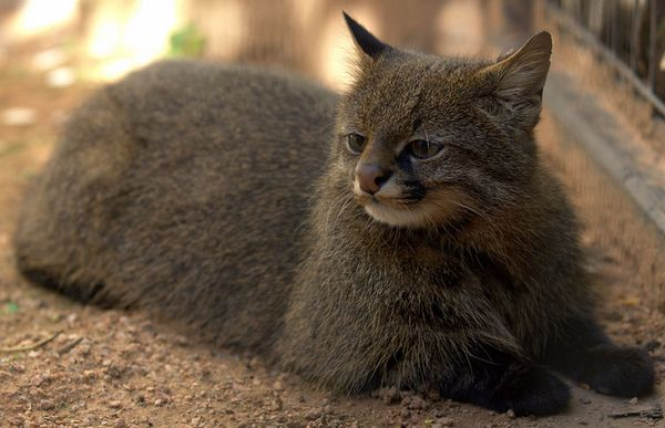 http://www.boredpanda.com/pampas-cat-leopardus-pajeros/