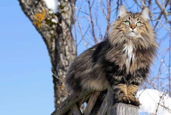 Big Scandinavian Cats