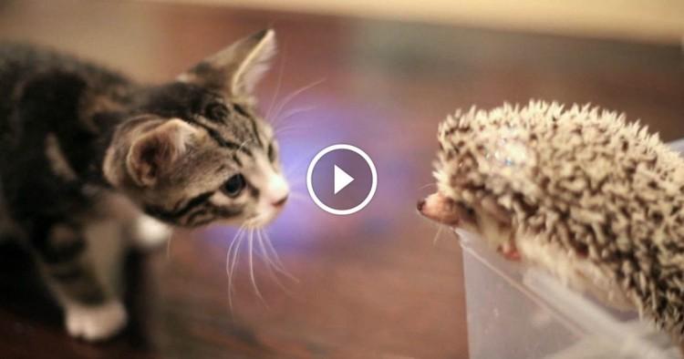 chat rencontre chaton Des chatons et des chiots se font face dans des caisses de transport les premiers à sortir et surement les plus curieux vont être les chatons qui vont aller s 'aventurer vers la caisse des - vidéo un chat à la rencontre de chiens.