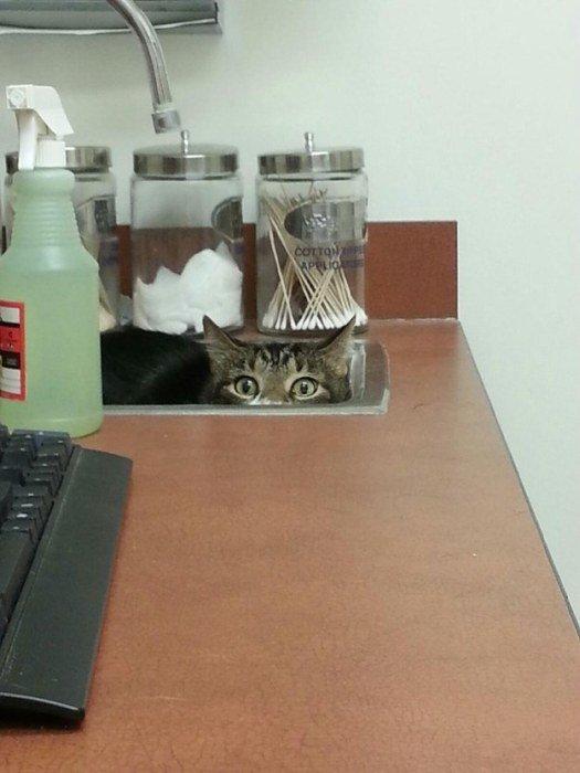 http://piximus.net/media/38562/cats-try-their-best-to-hide-from-the-vet-13.jpg