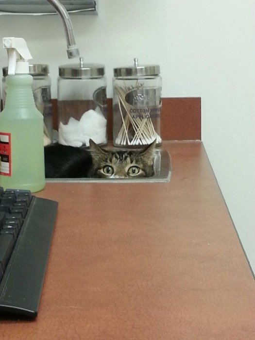http://piximus.net/media/38562/cats-try-their-best-to-hide-from-the-vet-13.jpg