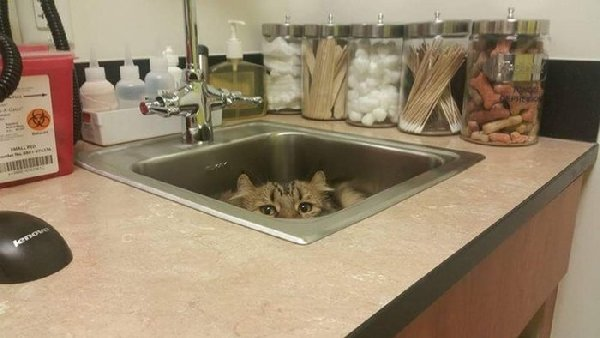 http://piximus.net/media/38562/cats-try-their-best-to-hide-from-the-vet-4.jpg