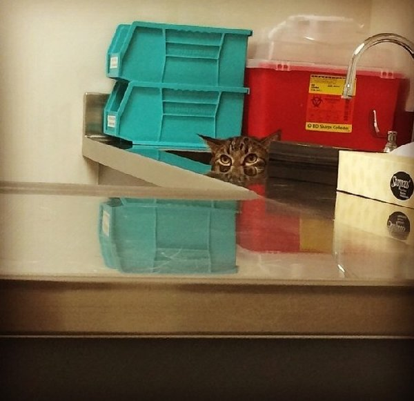 http://piximus.net/media/38562/cats-try-their-best-to-hide-from-the-vet-7.jpg