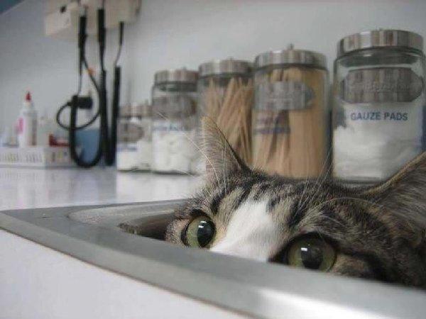 http://piximus.net/media/38562/cats-try-their-best-to-hide-from-the-vet-8.jpg