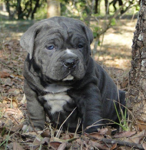 http://www.cutepuppybreeds.com/wp-content/uploads/2013/09/Bulldog.jpg