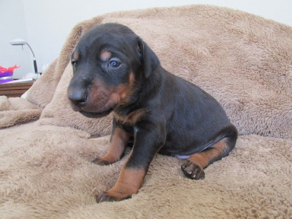 http://3.bp.blogspot.com/-hmpd9i6oIjI/URFJLqwl8UI/AAAAAAAAAHU/UJTuyVOSVSk/s1600/Doberman+Pups-Abby+012.JPG