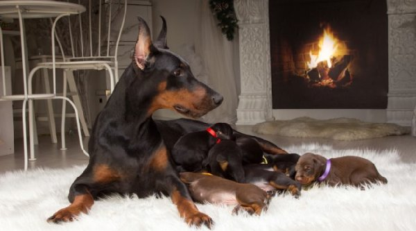http://static.bolsademulher.com/sites/default/files/styles/big-featured/public/field/image/dobermann-caracteristicas-1.jpg?itok=-PNhOHHu