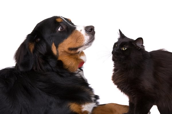 http://smileypets.com.au/wp-content/uploads/2015/06/cat-and-dog-meeting.png