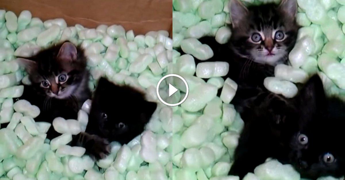 ces deux chatons qui jouent dans des chips de calage vont. Black Bedroom Furniture Sets. Home Design Ideas