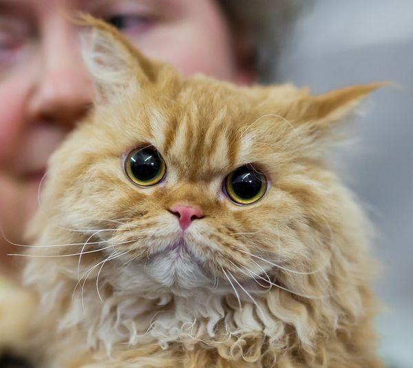 https://fr.wikipedia.org/wiki/Selkirk_rex#/media/File:Selkirk_rex_longhair_FINTICAt_cat_show_Helsinki_2013-11-25.JPG