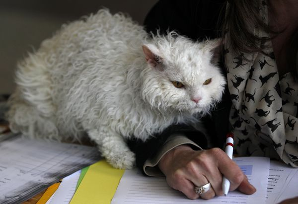 http://www.businessinsider.com/poodle-cats-now-an-official-breed-2013-6?IR=T