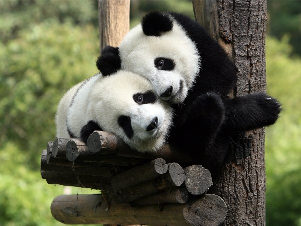 https://prosasamorosas.files.wordpress.com/2015/07/nature-panda-bears-wallpaper.jpg