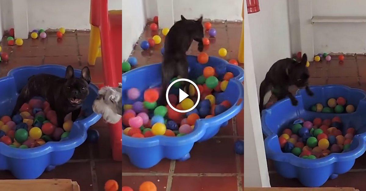 ce chien devient compl tement dingue en jouant dans sa piscine balles animaaaaals. Black Bedroom Furniture Sets. Home Design Ideas