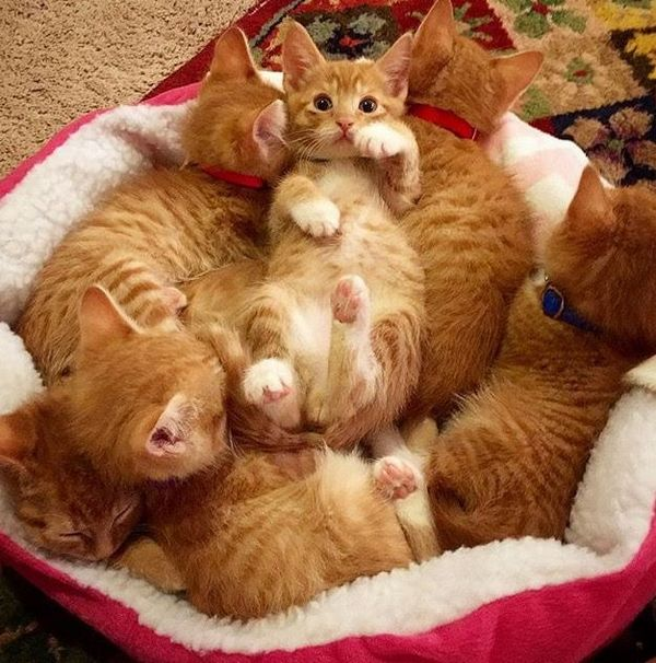 http://themeowpost.com/six-little-ginger-kittens-all-from-the-same-litter-but-you-wont-be-able-to-tell-them-apart/