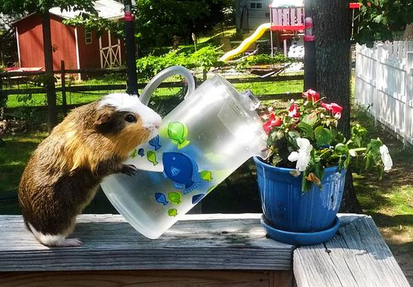 http://www.gagdaily.com/facts/4202-life-in-guinea-pig-land.html