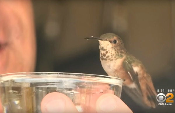 rex-hummer-chien-colibri