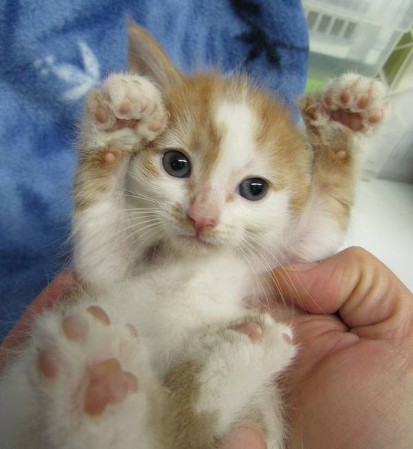 chatons-polydactyles-3