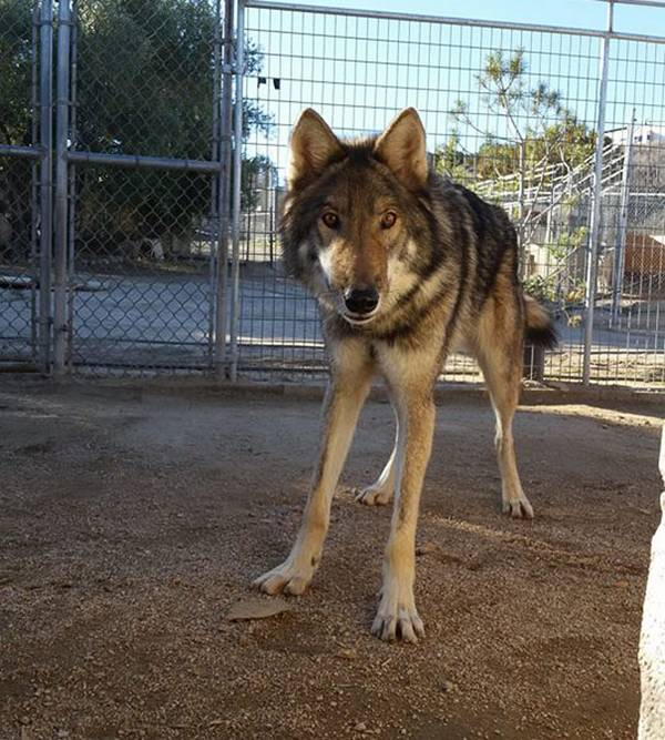 neo-chien-loup-1