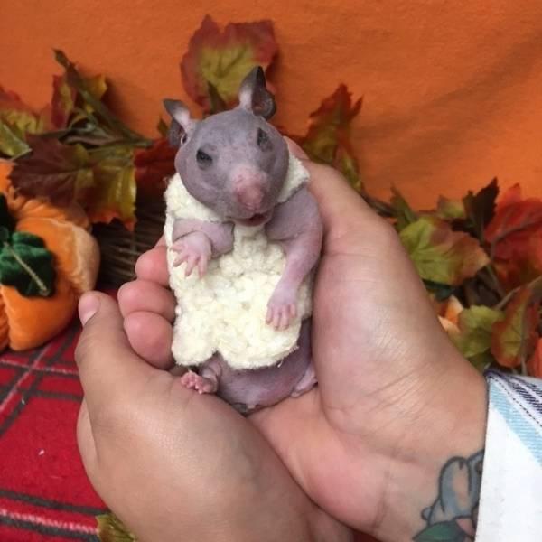 silky-hamster-sans-poils-5