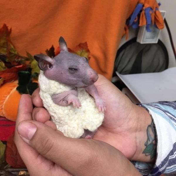 silky-hamster-sans-poils-6