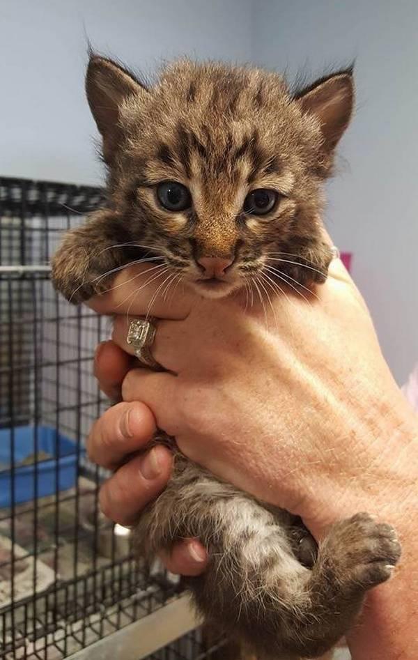 bebe-lynx-orphelin-maman-chat-4